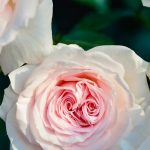 Bunga Cantik Tapi Tidak Harus Mahal