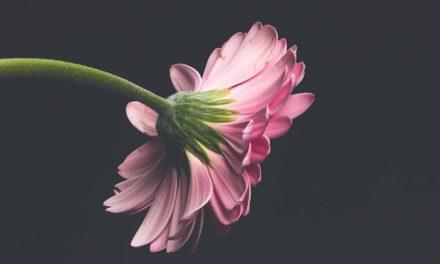 Cara menanam Bunga Statice